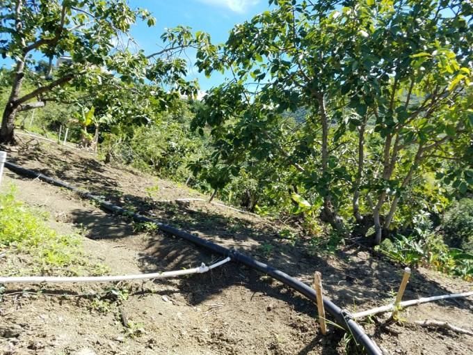 Finca de aguacate en producción  en San Jose de Ocoa